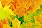 Akçaağaç yaprakları — Stok fotoğraf