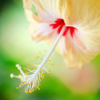 Hibiscus — Stock Photo #12206580