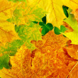 Maple leaves — Stock Photo #12206590