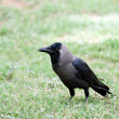 Crow — Stock Photo #11972303