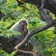 Macaque - Photo