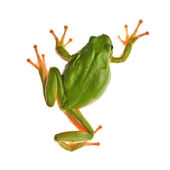 TreeFrog — Stock Photo