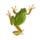 蛙 — 图库照片