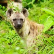 Hyena closeup — Stock Photo