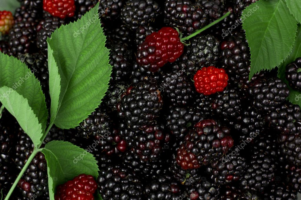 Blackberry — Stock Photo #11804589