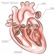 Heart Valves Watercolor Chart - Image vectorielle
