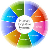 Human Digestive Systems — Stock Vector