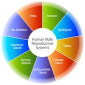 Ludzki mężczyzna rozrodczy wykresu — Wektor stockowy