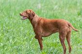 Happy Looking Vizsla Dog Standing in a Green Field — Stock Photo