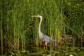 Great Blue Heron in a Pond — Stock Photo