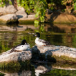 Two Goldeneye Ducks sitting on Rocks — Stock Photo