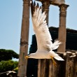 Seagull flight over the Forum — Stock Photo