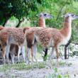 Guanaco — Stock Photo #11174750