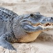 Alligator closeup on sand - Stock Photo