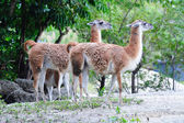 Guanaco — Stock Photo