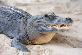 Alligator closeup on sand — Stock Photo
