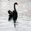 Black Swan — Stock Photo #11512361