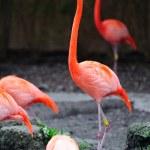Flamingo in Miami zoo — Stock Photo