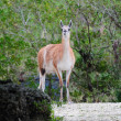 Guanaco — Stock Photo #11512388
