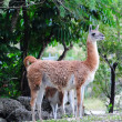 Guanaco — Stock Photo #11684155
