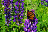 Butterfly on Lupin — Stock Photo