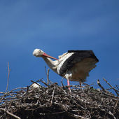 Stork white — Stock Photo