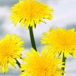Dandelions — Stock Photo #10954521