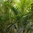 Ferns in tropical forest — Stock Photo