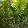 Ferns in tropical forest — Stock Photo #10807975