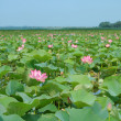 Stock Photo: Valley of lotuses (sacred lotus)
