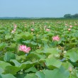 Valley of lotuses (sacred lotus) — Stock Photo