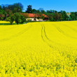 Yellow rape field in spring — Stock Photo #10747901
