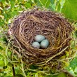 A blackbird eggs in a bird&amp;#039;s nest - Stok fotoraf