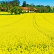 Yellow rape field in spring - Stock Photo