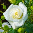 White rose on a rose bush - Stock Photo