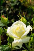 Rosa branca em uma roseira — Fotografia Stock