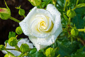 White rose on a rose bush — Stock Photo