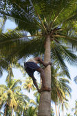 Gathering coconuts — Stock Photo