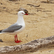 Tarapunga, the red–billed gull in beach — Stock Photo