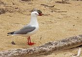 Tarapunga, the red–billed gull in beach — Stock Photo
