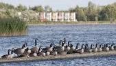 Flock of geese on the shore of a picturesque view. — Stock Photo