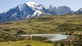Guanacos in Torres del Paine region live in freedom — Stock Photo