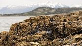 Rocky shore covered with whole mussels and seaweed — Stock Photo