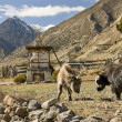 In the high altitude Himalayan villages meet Yaks - Stock Photo