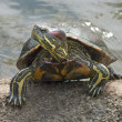 Red-eared Slider (Trachemys scripta elegans) — Stock Photo