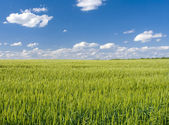 Field of rye and sunny day — Foto Stock