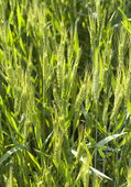Background of wheat in field, selective focus — Stock Photo