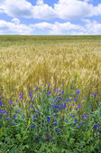 Gold ears of wheat under blue sky — Foto de Stock