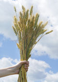 Woman hand holding wheat spikes against blue sky — Stock Photo