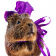 Stock Photo: Guinepig with violet bow and flower